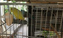 Parrotlet proven pair, male is blue and female yellow they produce green with blue babies. Price is firm