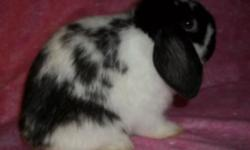 For Sale: Beautiful fully pedigreed Holland Lop doe. She is 4 mths old. Would make a great 4 h project, brood doe, or even just a pet. She has been handled and cared for by adults and small children s