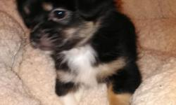 Pekachi pups (Pekingese/Chihuahua) available now 2males 1female. Born 6/19/15. Had series of wormer, first shot, Vet checked and all come with a record booklet and a health certificate from vet. All h