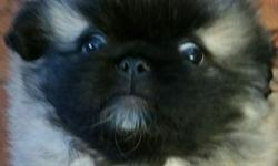 We have one male pekingese puppy for sale. ..he was born 8 weeks ago and he's ready to find his new home. ..both parents are on the premises and can be seen. ..