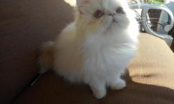 PERSIAN KITTENS. CFA registered. Beautiful Cream and White Bicolors, Red-White Bicolors,Cream, Blue Smoke, Black and White Smoke, Silver Patched Tabby and White. There are Males and Females. All have