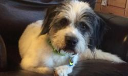Foster location: Nampa, ID Gunner is a six-year-old Petit Basset Griffon Vendeen (PBGV) mix, and a very sweet and loving dog. He is a very well behaved house dog, other than preferring to sleep on the