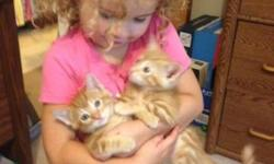 Adorable, rambunctious, lovable, and playful. Two orange females (Pumpkin & spice - 1st photo); dilute tortie female (Trixie - 2nd photo); silver male (Pixie - 3rd photo) ; blended tortie female named