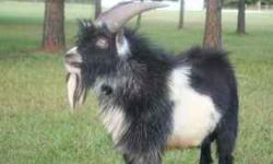 For sale two pigmy goats born July 5th 2010, want to sell both of them together. For sale as pets only. Both parents on site. They are named happy and sleepy. Have scrapie tags for both. $150 for both