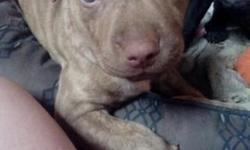 Adorable, almost 6 week old, pit bull puppies. Born Sept. 13 2015 Will be ready in two weeks. Will have first shots and de-worm. 2 male and 2 female available to loving family. Puppies are very friend