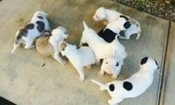 9 pit bull puppies. They are red nose and blue nose mix. Mom blue, DAs red Still are babies and small. Beautiful puppies. For more information text email call.