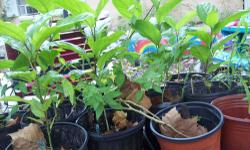 PLANTS SALE - LOTS OF PLANTS - HEIRLOOM VEGGIE AND FLOWER PLANTS AND SEEDS. BLACKBERRY, ELDERBERRY, STRAWBERRY, BLUEBERRY, SURRINAM CHERRY, PAPAYA. PASSION FLOWER AND FIG PLANTS. LEMON GRASS, HERBS, H