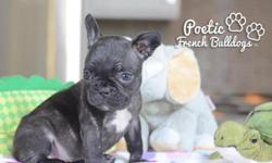 www.poeticfrenchbulldogs.com www.floridafrenchbulldogs.com PLEASE EMAIL FOR MORE INFORMATION @ Email Me Here Aliya is $2800, she is our beautiful Black Female Frenchie who loves to give kisses and sit