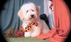 Polar Bear is the most irrestable male Havanese puppy. He looks like a polar bear, but acts like a teddy bear. He loves attention, and when he sees you approach him he comes a running with tail waggin