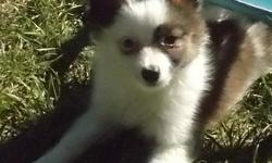 We have 1 sweet small boy ($600) and tiny little girl ($650). The boy should be 12-15 lbs full grown, the girl 10-12 lbs full grown. This Possie litter Born Aug 2, 2015. Ready to go now. Calling is th