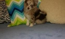 Cupcake is a CKC registered female Pomchi puppy. Her dad is a four pound Pomeranian and her mom is a six pound long haired Chihuahua. Cupcake is merle with blue eyes. Please call or text Judy at 903-6
