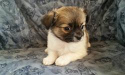 Two female Pomeranian/Chihuahua Puppies 8 weeks old first shots and wormed. They are well socialized have been raised in the house with other dogs and cats $300 and will deliver within 75 miles of Sio