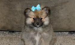 I have for sale five pomeranian puppies. Three females and two males. I own both mom and dad they are our family house dogs. Puppies are purebred but will not come with papers. Selling as pet only. Th