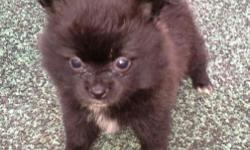 Small black female pomeranian puppy with white chest & tips. Born on (9-7-15) & has been vet checked. She is t-cup size.