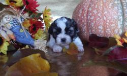 www.pookiepoobears.wix.com/shichon. Pookie Poo Bears parents are on site. The puppies will weigh somewhere between 8-15 pounds. All of Pookie Poo Bears puppies are raised in my home around other pets,