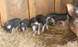 POT BELLIED PIGS MAKE GREAT PETS--VERY SMART--VERY CLEAN--LITTER BOX TRAINABLE--IF YOU HAVE ALLERGIES THIS IS THE PET FOR YOU CALL 334-559-5054 // //]]>