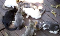 Precious American short hair/ Tabby mix kittens. They were born on 6-21-15, all very healthy and eating soft food, hard food and water. Mommy cat is done weaning them and was fixed two weeks ago. Id l