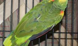 Single Yellow nape Amazon $450 Pair of yellow napes $900 Triton cockatoo super tamed $899 4 proven pairs of timney african greys $3900 for all 4 pairs One weaned timney African grey $500 Pair of afric