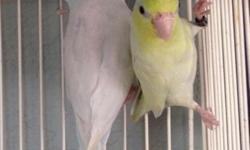 image 1 dilute blue /yellow X dilute Torq pair Decided to sell them. I have enough pairs of parrotlets and all my pairs now from their offspring and focusing on Linnies. They have been off the box 4-