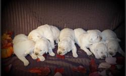 Pure Breed, AKC Champion line English Cream Golden Retriever puppies available for sale. Both parents are 100% English Cream Golden Retrievers from Europe and have European Champion Multi Generation B