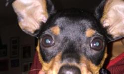 15 week old min pin female puppy. She has all her shots, and a shot record can be picked up at our local vet. She comes with medium metal crate, dog bed, clothes, toys. She is very active, and lovable