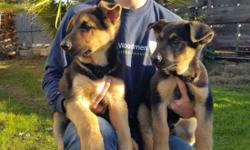 Hello, I am selling 3 purbreed german shepherd puppies, 2 females and 1 male. They are all documented with AKC papers. Healthy, strong, very playful, and ready for a new owner. They are 2.5 months old