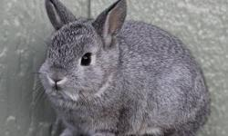 I have two beautiful purebred netherland dwarf bunnies available to loving homes. Re-homing fee is $50 each and includes hay and a baggie of transitioning pellet food. These babies have been handled s