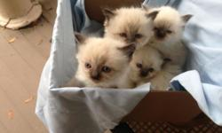 Purebred Sealpoint Ragdoll babies 2 female 2 male beautiful healthy and fluffy. Litter trained and vet checked. Smoke free home. Microchipped if you wish. Flea free. Ready to go to their forever homes