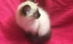 PUREBRED RAGDOLL KITTENS !! ~~~~ UPDATE~~Kittens SOLD ~~WAITING LIST AVAILABLE ~~~ I have 3 purebred Ragdoll females that I breed: A Mitted Seal Point, a Seal BI-Color, and a Blue Bi-Color. My male is
