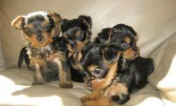 PUREBRED YORKIE PUPPIES re-homing with small adoption fee We are excited to have three Yorkshire Terrier puppies with their breed signature tan coats with a black saddle. **We are even more excited ab