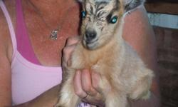 i currently have 1 males pygmy goat kids available. he will be 8 weeks old and ready to go 7/25/13. he will be utd on shots and dewormed. i will band males upon request.  males are 65.00. i do re