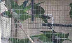 Quaker parrot available , no tame . Perfect condition. This ad was posted with the eBay Classifieds mobile app.