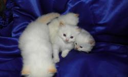4 FLAME POINT RAG DOLL KITTENS. Flame points are white with orange tips ears and orange rings on the tails. VIVID BLUE EYES, BOTH PARENTS HAVE ICE BLUE EYES. GENTLE, SOFTEST FUR EVER! BUSHY TAILS! Rai