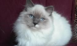 3 gorgeous purebred Ragdoll cats. 3 females.They are NOT spayed. Matter-of-fact, the 4 year old may be PREGNANT by a Blue Bi-Color male. All are healthy and are able to have beautiful, fluffy blue-eye
