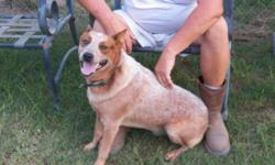 Read the whole add before inquiring: Full blooded Australian Cattle Dog puppies for sale. b. 08/25. Parents and 4 generations on the farm. Will be wormed and first shot. Dew claws are removed and the