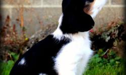 Dublin is a sweet 9 week old tri colored male Cavalier King Charles Spaniel who is looking for his forever home! He was our pick of the litter that we had planned to keep, but have instead decided to