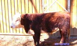 Registered Hereford Bull. 1 1/2 yrs old. Good EPDs, dark red in color and very gentle. Current on vaccines and worming.Comes from a closed herd. Asking $1800.00. If interested please call 540-537-6205