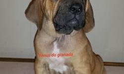 We're from Los angeles California We breed for correct fila brasileiro and over all health. Www.filasdogranada.com our Program includes health check ups xray of hips and elbows. Lots of exercise, hiki