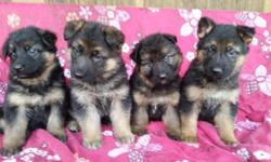 These stunning males are plush coat and are west German bloodline. They will come with first and second sets of vaccinations, and will also be dewormed. They will come with health records, written hea