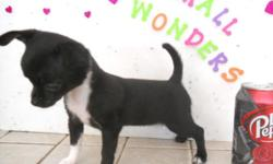 We have an absolutely teen tiny black and white short hair female Chihuahua, 12 weeks old, just now almost 2 pounds, PERFECT VET CHECK, HEALTH GUARANTEE, She is black and white w/ perfect markings, a
