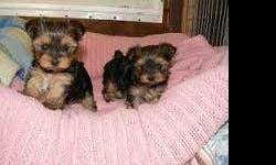 Gorgeous Tiny Yorkie Puppies For Re-homing . Very Playful and friendly. Home breed and well socialized. Comes with AKC Registration, Pedigree, vaccination card and. Very small, short legged and short