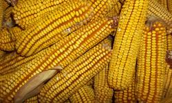 REID'S YELLOW DENT CORN (Non-treated Seeds from 2013 harvest) Organically grown 99% Germination Packed for 2014 PA. Licensed Seed Dealer 110 Day corn  5# - 10.00, 10# - 17.50, 25# - 35.00 larger quant