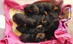 Outstanding litter of Rottweiler puppies ! Absolutely Beautiful , Very nice dark markings. Getting Tons of TLC raised inside our home w kids. Both Parents also have outstanding looks Big boned Dark bl