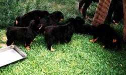 rottweiler puppies puppies for sale The babies will come to you pre spoiled,akc registration, dewormed at 2, 4, and 6 weeks, with their 1st set of puppy vaccines, a thorough vet examination, their AKC