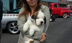 Saint Bernard St. Bernard - Saint Bernard - Extra Large - Adult We have a number of pending incoming adult saints, if you are looking for an addition to your family feel free to contact us. all saints