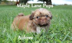Aubree is a Tiny Little Princess! She is a beautiful Orange Liver with a thin Blaze and Light Boots! She has a beautiful round head and short body! Aubree is tracking to be small! Her mom is our Beaut
