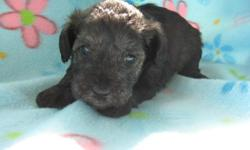 Schnoodle Puppies For Sale -4 Weeks Old.Dam is a 11lb, Salt & & Pepper