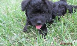We have 2 litters of schnoodle puppies for sale.They are happy healthy gorgeous little balls of fluff ready to share all their puppy kisses.There are 9 females and 3 males from both litters.Some are r