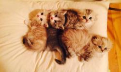 Scottish Kilt kittens are finding their forever loving home! They are very playful and energetic. Very lovely and follows you all day! Scottish Kilts are very rare and we are blessed to have 4 short l