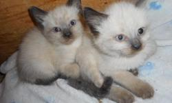 Traditional apple-head Siamese kittens. Had vet visit at 7 wks, first shots, Revolution treatment for prevention of ear mites, worms and fleas. Litter box trained and eating well. Standard coats, medi